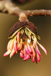 Blüte des Eisenholzbaum by Bernhard Kaiser
