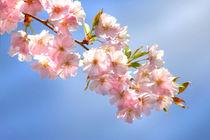Mandelblüte in der Pfalz von lizcollet