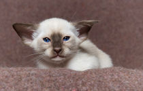 Siam Kitten / 19 von Heidi Bollich