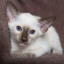 Siam Kitten / 20 von Heidi Bollich
