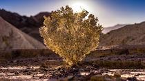 Desert Holly von fakk