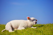 Texel lamb on the island of Texel, The Netherlands by Sara Winter