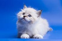 My Little Kitten by Dara Gor