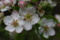 Apple Blossoms von dag