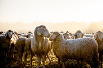 sheep by Andreas Brauner