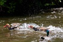 Ducks fooling around von Andreas Brauner