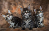 Maine Coon Kittens / 1 by Heidi Bollich
