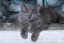 Sibirer Kitten / 3 by Heidi Bollich