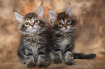Maine Coon Kittens / 2 by Heidi Bollich