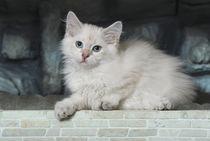 Neva Masquarade Kitten / 1 by Heidi Bollich