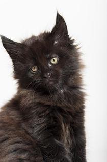 Maine Coon Kitten / 58 von Heidi Bollich