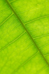 Sunlight illuminates leaf's complex structures by p-k-niquet