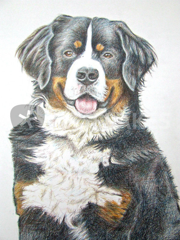 quot berner sennenhund quot drawing prints and posters by