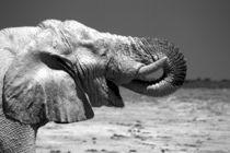Trinkender Elefant von Nicola Furkert