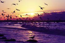 Seagulls at sunset at the north sea coast in Netherlands by nilaya