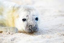 Baby seal at the beach von nilaya