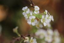 Kleine weiße Blüten sich starr nach Oben heben. von Simone Marsig
