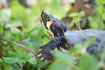 turtle I von herz +  hirn