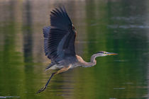Blue-heron-in-flight-1-of-1