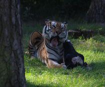 Tiger in der Fütterungszeit by Simone Marsig