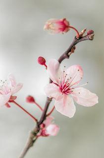Prunus-dot-2