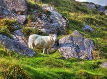 The-sheep-coad-mountain