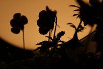 schattenblume von herz +  hirn