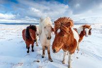 Icelandic Horses in Northern Iceland von Sascha Kilmer