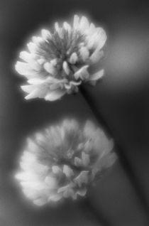 Clover flowers von Alexander Kurlovich