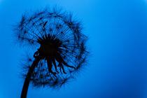 Pusteblume von sven-fuchs-fotografie