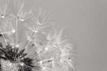 Pusteblume by sven-fuchs-fotografie