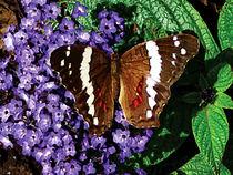 Black Butterfly on Heliotrope von Susan Savad