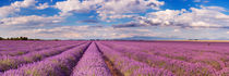 Blooming fields of lavender in the Provence, southern France by Sara Winter