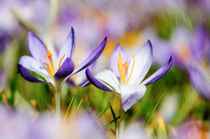Crocus duo by Thomas Matzl