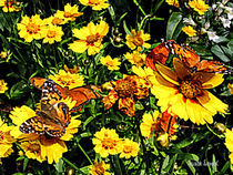 Orange Butterflies on Yellow Coreopsis by Susan Savad