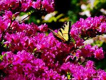 Tiger Swallowtail on Azalea von Susan Savad