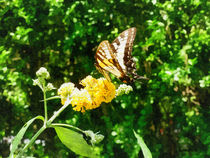 Yellow Swallowtail on Yellow Lantana von Susan Savad