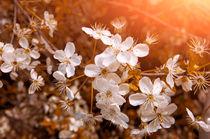 Blossom-6