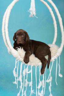 Labrador Welpe / 67 von Heidi Bollich