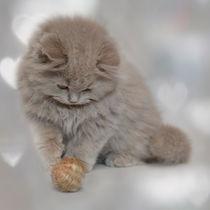 Britisch Langhaar Kitten / 1 by Heidi Bollich
