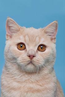 Britisch Kurzhaar Kitten / 70 by Heidi Bollich