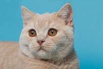 Britisch Kurzhaar Kitten / 69 by Heidi Bollich