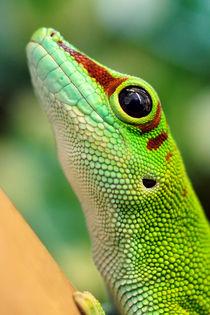 Madagassischer Taggecko by ir-md