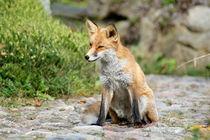 ein Fuchs im Park von ir-md