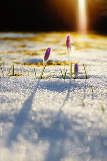 Crocus in snowy meadow von Thomas Matzl