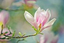 Magnolia-006