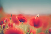 Summer Poppy Meadow by Nailia Schwarz