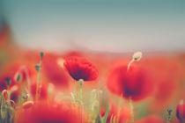 Summer-poppy-001