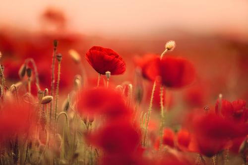 Summer-poppy-003