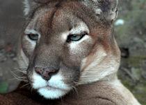 Wild Cat von Philip Shone